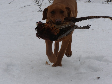 fox red pointing lab female