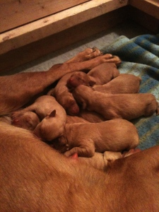 Red Fox Labrador Puppies/Red Lab Puppies